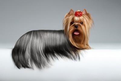 毛並みがキレイな犬