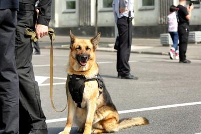 警察犬のジャーマンシェパード