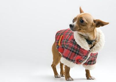赤いチェックのコートを着たチワワ