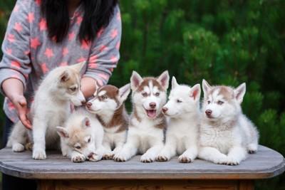 ブリーダーとハスキー犬の子犬たち