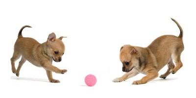 ボール遊びをするチワワ