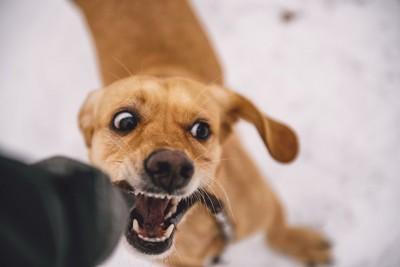 興奮して牙をむき出している垂れ耳の犬