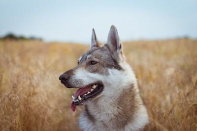 オオカミ犬の横顔