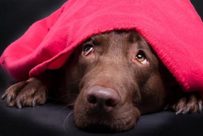 ピンクの毛布をかぶって不安そうな犬