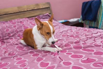 ベッドのシーツを噛んでいる犬