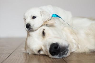 寝ている母犬の上に乗る子犬