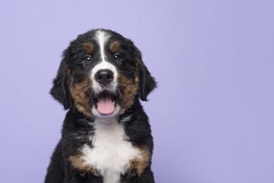 口を開けてこちらを見つめるバーニーズの子犬