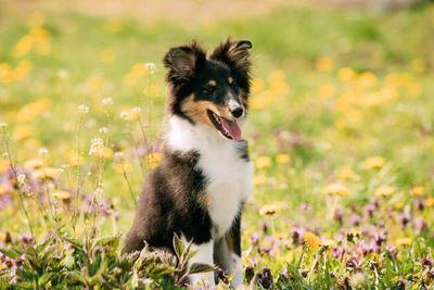 お花畑でおすわりするシェットランドシープドッグの幼犬