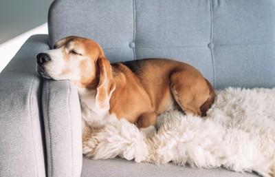 ソファーで気持ちよさそうに眠る犬