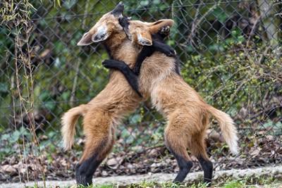 二匹のタテガミオオカミ