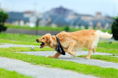 走ってボールを咥えようとする犬