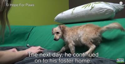 ソファの上で遊ぶ犬