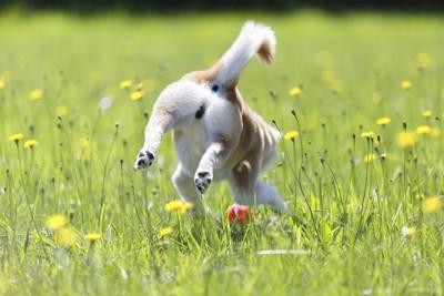 遊ぶ犬の後ろ姿