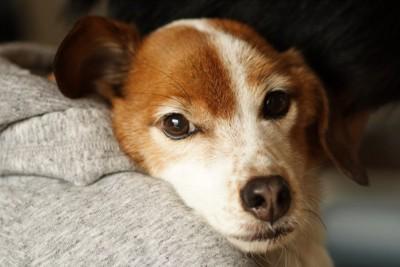 抱っこされて甘えている犬