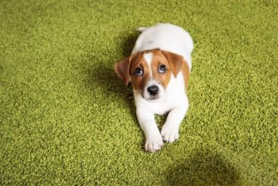 怯えて上を見上げるジャックラッセルテリアの子犬