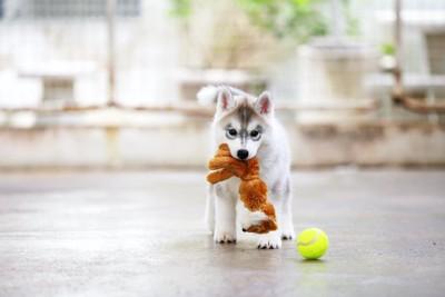 おもちゃをくわえているパピー