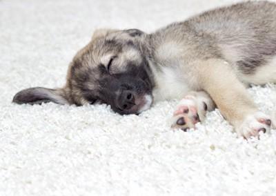 カーペットの上でくつろぐ犬