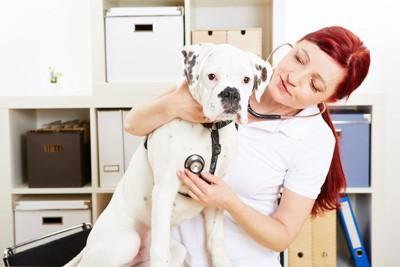 病院で診察を受ける白いボクサー犬