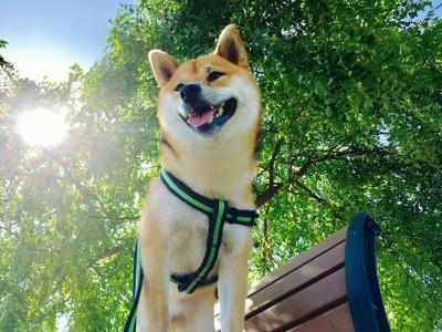 夏っぽい時に散歩している柴犬
