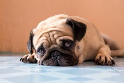 うつぶせて悲しそうな表情のパグ