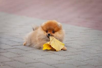 落ち葉をくわえている子犬