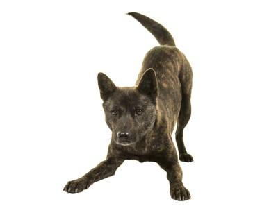 プレイバウの姿勢をしている犬