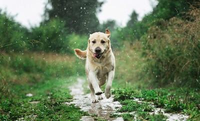 雨の中を走るレトリーバー