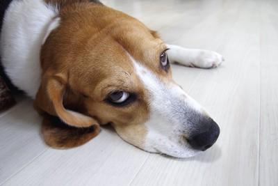 床に寝そべったままこちらを睨む犬