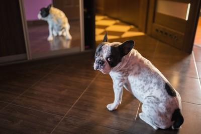 鏡に映る自分を見て驚き振り返る犬
