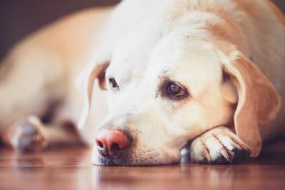 床の上で寂しそうな表情で横たわるゴールデンレトリバー