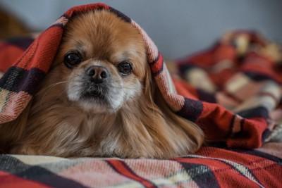 毛布にくるまって顔を出す犬
