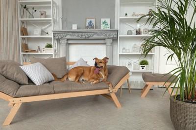 オシャレなソファーの上の茶色い犬