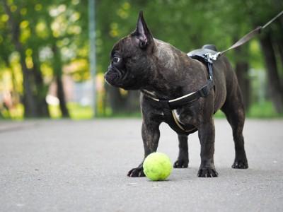 ハーネスを着けた犬と手元に黄色いボール