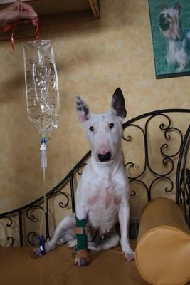 ソファーの上で点滴中の犬