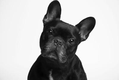 首を傾げて見つめる黒い犬