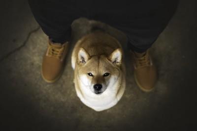 人の足元に座って見上げている柴犬