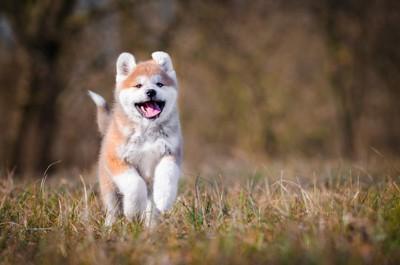 走る秋田犬の子犬