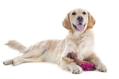 デンタルボーンを持ってくつろぐ犬