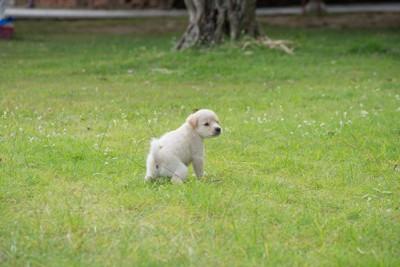 芝生におしっこする白い犬