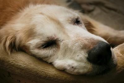 寝たきりの犬