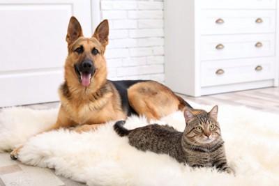 そばで寛ぐシェパードと猫