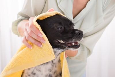 タオルで体を拭かれている犬