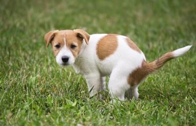 芝生でウンチポーズをしている子犬