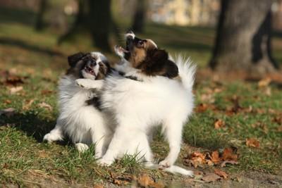 外で遊ぶ二匹のパピヨン
