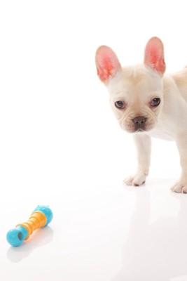 オモチャとフレンチブルドッグの子犬