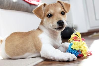 おもちゃを持っている犬