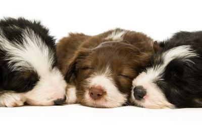 寄り添って眠るボーダーコリーの幼犬