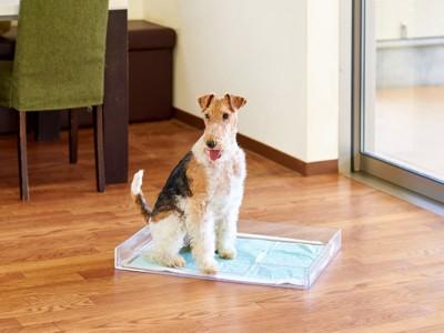 クリアレット2(S)で用を足すワイヤーフォックステリア犬