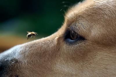 犬の顔の前に迫る蜂