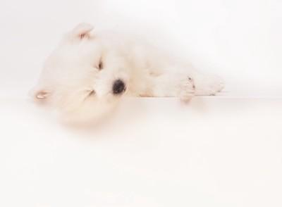 眠っている日本スピッツの子犬